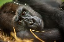 gorilla-mayani-zoo-antwerpen-jonas-verhulst-17092017-15-1 - Copy